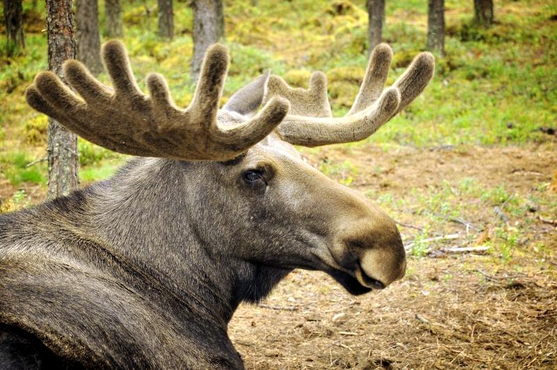 Moje volba: Majestátní paroží losího samce